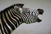 Zebra braying at the needless hurdles from H800 Moodle site